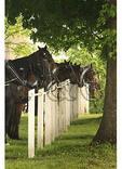 Horses at Mennonite Church, Shenandoah Valley of Virginia