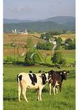Curious Cows in the Shenandoah Valley of Virginia