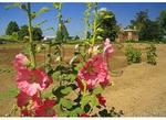 Hollyhock, Garden, Bacon's Castle, Surry, Virginia