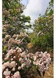 Mountain Laurel blooming on the Appalachian Trail, Sawmill Ridge, Shenandoah National Park, Virginia