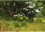 Walnut Tree, Valley Of Virginia Wildflowers, Fairfield, Virginia