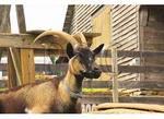 Alpine Goat, Valley Of Virginia Wildflowers, Fairfield, Virginia