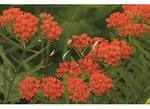 Butterfly Weed, Blue Ridge Parkway, Virginia