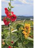Hollyhock and Sunflower, Valley Of Virginia Wildflowers, Fairfield, Virginia