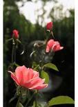 Rose Garden, Glen Burnie, Winchester, Virginia