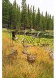 Ducks at Nymph Lake, Rocky Mountain National Park, Estes Park, Colorado
