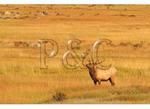 Elk in Moraine Park, Rocky Mountain National Park, Estes Park, Colorado