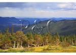 Bristlecone Pine, Mount Goliath Natural Area, Mount Evans, Denver, Colorado