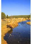 Buffalo Drinking, Nez Pierce Creek, Yellowstone National Park, Wyoming