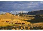 Buffalo at Sunrise, Lamar Valley, Yellowstone National Park, Wyoming