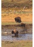 Buffalo Rubbing Ground, Lamar Valley, Yellowstone National Park, Wyoming