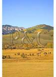 Elk Herd and Cattle Round-Up, Ohio Creek Road, Gunnison, Colorado