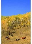 Cowboy and Dogs, Ohio Creek Pass, Gunnison, Colorado