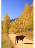 Cow Mooing, Ohio Creek Pass Road, Gunnison, Colorado