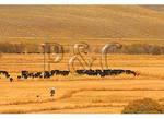 Cattle Round-Up, Ohio Creek Road, Gunnison, Colorado