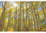 Aspens, Kebler Pass, Crested Butte, Colorado