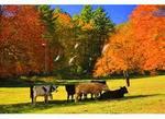 Cows Beside Blue Ridge Parkway, Near Cumberland Knob, North Carolina