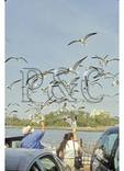 Feeding Gulls on Southport - Fort Fisher Ferry, Cape Fear River, Southport, North Carolina