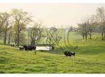 Cows and Pond, Springhill, Shenandoah, Valley, Virginia