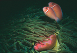 Pink Anemonefish with host anemone