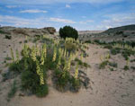 Yucca in Bloom, Cathedral Loop, Capitol Reef National Park