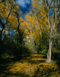 Autumn Cottonwoods by the Animas River