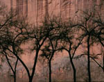 Cottonwoods, Canyon de Chelly