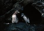 Galapago Penguins at Entrance to Lava Tube