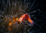 Pink Anemonefish, Papua New Guinea