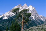 Cathedral Group and Limber Pine