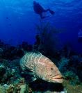 Tiger Grouper and Diver