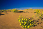Brown Eyed Susans, San Raphael Desert