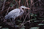 Great Blue Heron, Everglades National Park
