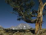 Mt. Moran, Limber Pine, Grand Teton National Park