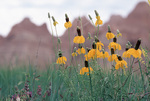 Upright Prairie-coneflowers, Badlands National Park