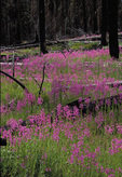 Fireweed, Yellowstone National Park