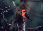 Vermilion Flycatcher, Galapagos Islands