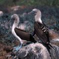 Blue-footed Boobies, Hood, Galapagos Islands