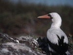 Masked Booby, Galapagos Islands