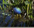 Purple Gallinule, Palm Beach County, Florida