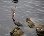 Brown Pelican, Monterey Bay, California