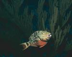 Stoplight Parrotfish, Initial Phase