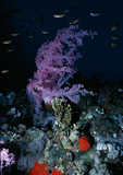 Soft Coral, Red Sea