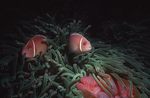 Pink anemonefish, New Guinea, with host anemone