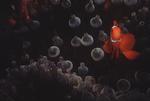 Spine-cheek Anemonefish with host anemone