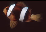 Clarke's Anemonefish, Red Sea