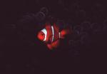 Spine-cheek Anemonefish, New Guinea