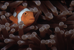 Clown Anemonefish, New Guinea