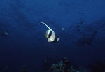Pennant Bannerfish