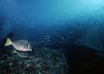 Yellowtail Surgeonfish, Sea of Cortez